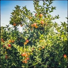Wunderschöner Apfelbaum