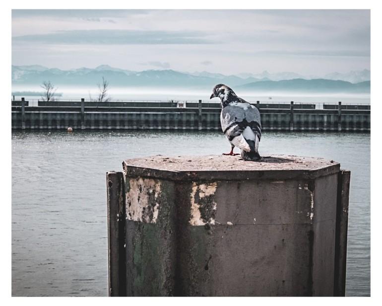 Taube im Hafen von Friedrichshafen