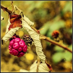 Rote Beere