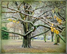 Besonderer Baum am Stadtwall