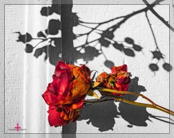 Rosen in der Dezembersonne