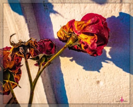 verblühende Rosen